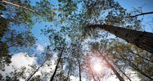 Sức sống mãnh liệt của rừng xà nu