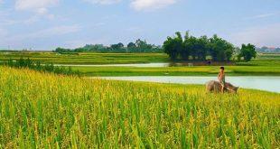 Thuyết minh về cây lúa